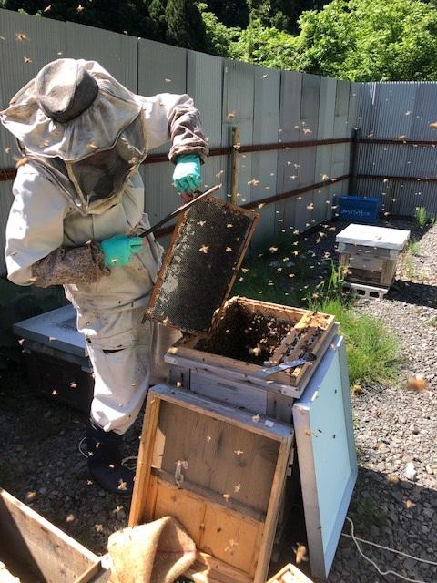 2019年最後の採蜜。ミツバチをそっと払います。みつばちの詩工房養蜂部