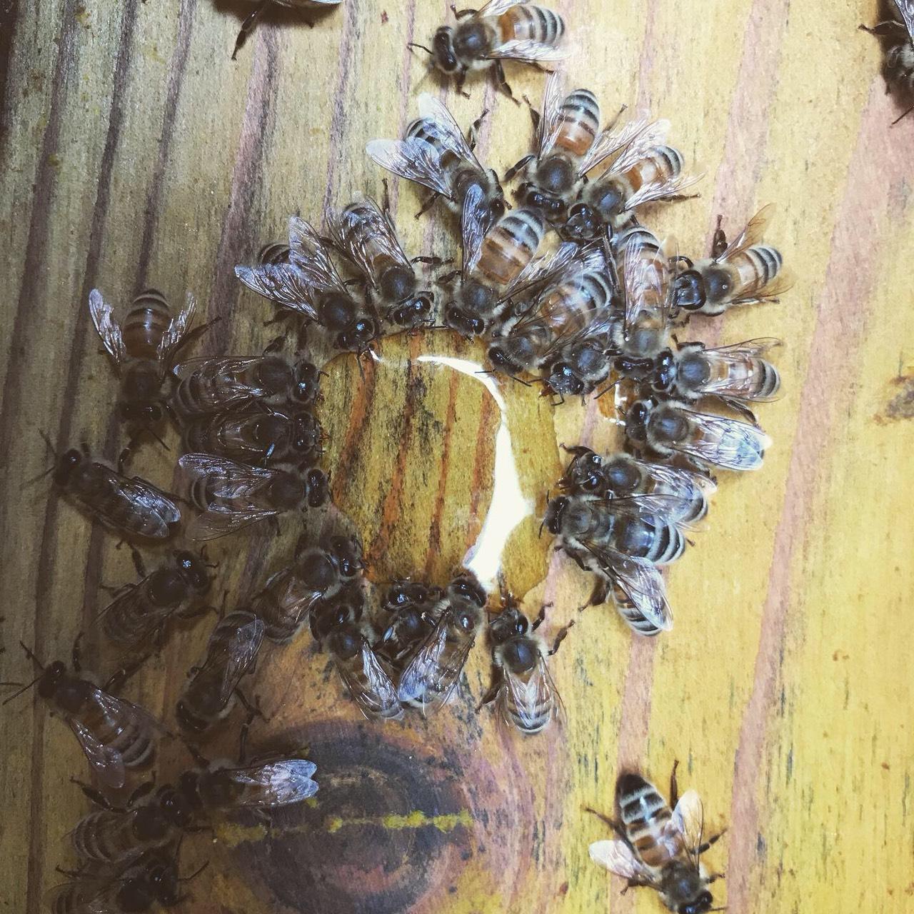 ハチミツに群がるみつばち