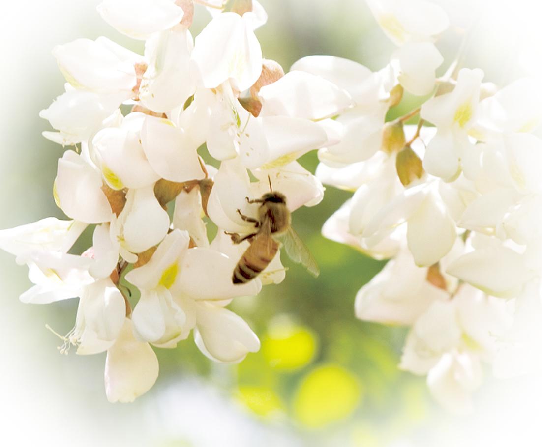 アカシヤとミツバチ